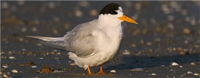 Photo of a fairy tern bird
