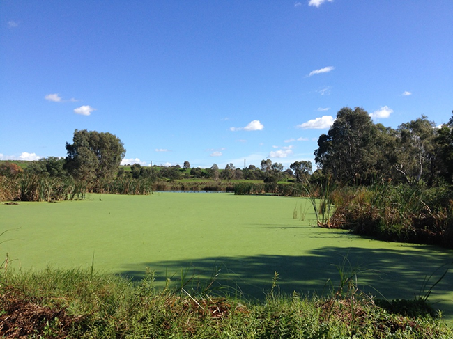 Algal bloom at Macleod Morass, Gippsland Lakes, April 2016