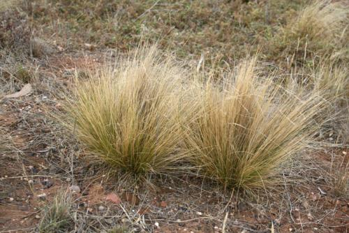Photo of serrated tussock